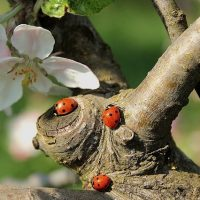 ladybug-722783_640